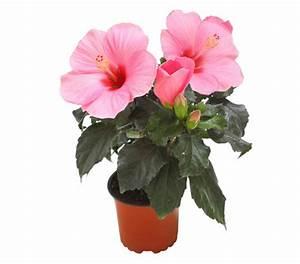 Hibiskus Pflege Zimmerpflanze : hibiskus dehner garten center ~ A.2002-acura-tl-radio.info Haus und Dekorationen