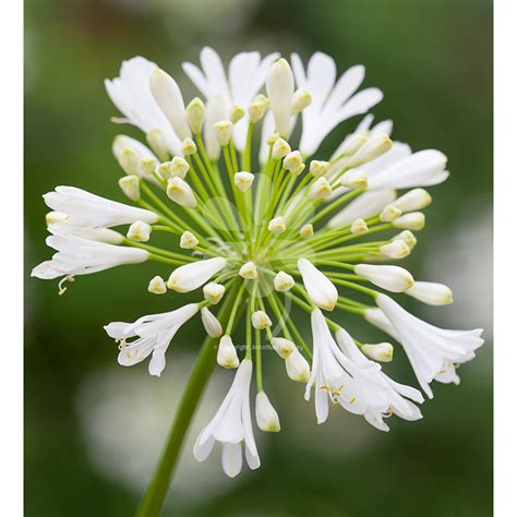 white agapanthus varieties grow agapanthus white heaven from 163 8 95