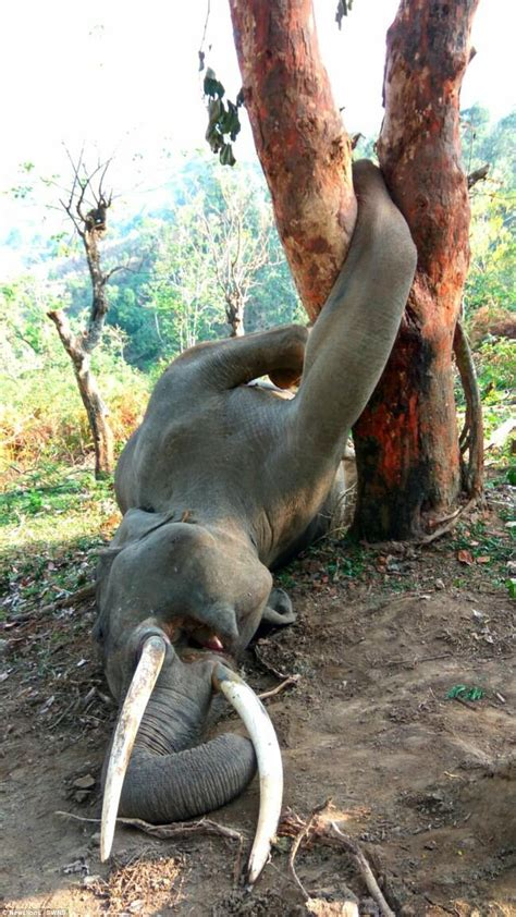 elephant  killed   treetragic naibuzz