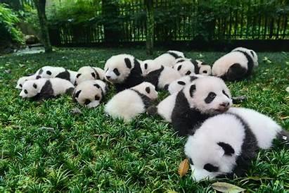 Pandas Babies Giant China Animals Mating Pick