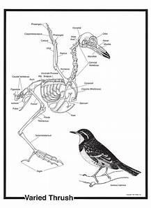 Bird Skeleton Poster
