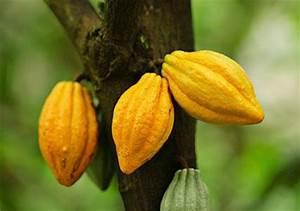 Kakaobohnen werden zu Schokolade [LIVING AT HOME]