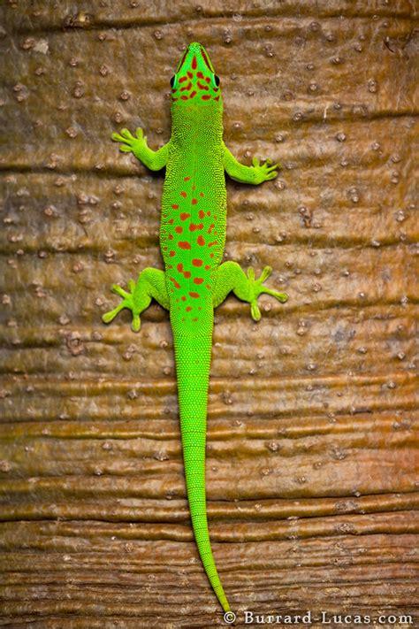 gecko quotes quotesgram