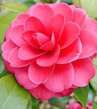 alabama state flowers tips facts species  varieties
