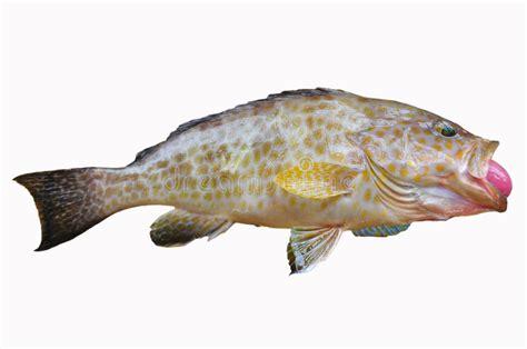 fish fresh background grouper food fillet healthy sea