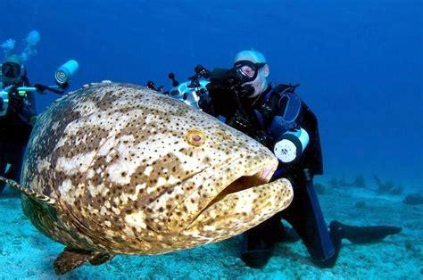 grouper goliath giant fish atlantic ocean underwater caught jewfish dangerous huge largest endangered eat sea diver itajara epinephelus xv finton
