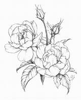Flower Drawings Botanical Peony Drawing Spring Illustration Flowers Coloring Shading Line Floral Modern Ink Peonies Contour Sketch Draw Rose Sketches sketch template