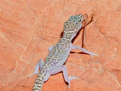 gecko lizard lizard wallpaper