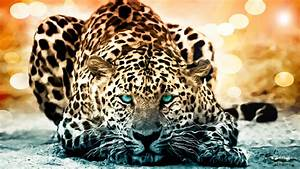 Jaguar Animal Wallpapers   Jaguar Pictures – Images 1080p ...