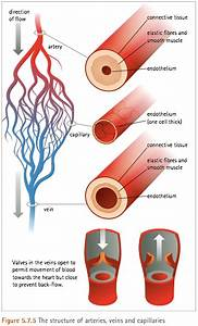 A Capillary Is An Extremely Small Blood Vessel Located