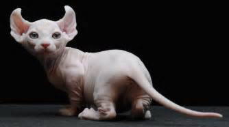 how do i what breed my cat is cats with legs purrfect cat breeds