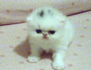 persiani ipertipici tutte le novit 224 gatti persiani ipertipici gattino