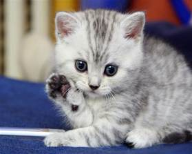 kitty cat pictures kitten saying hello 171 why evolution is true