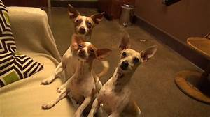 Chihuahua Rescue Captured In Heartbreaking Video Will