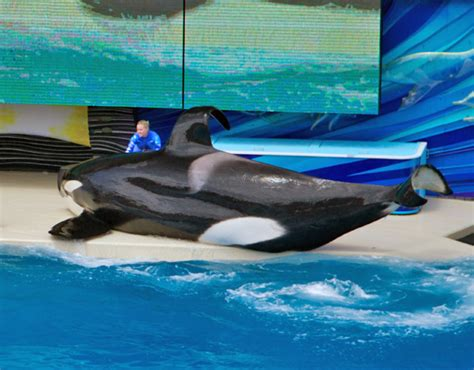 Orcas In Captivity Dorsal Fin