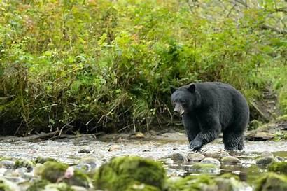 Bears Bear Blind Eye American Really Works