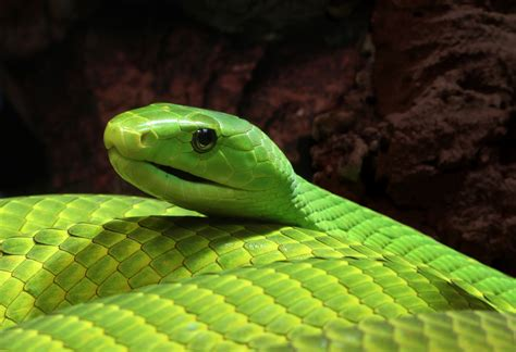 Extract From Deadly Green Mamba Venom Offers Hope For