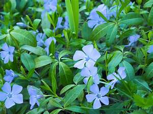 Vinca Minor Giftig : bodendecker vinca minor so pflanzen pflegen sie das ~ Lizthompson.info Haus und Dekorationen