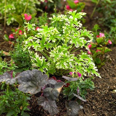 geraniums and mosquitoes 17 best ideas about pelargonium citrosum on pinterest scented geranium citronella plant and