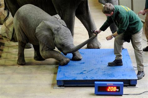 zoo why thing elephant such there scales independent elephants keeper