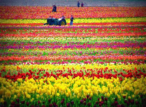 tulips festival in usa tiptoe through the tulips 35 pics
