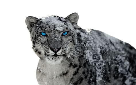 snow leopard hd wallpaper background image