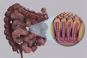 Exploring The Small Intestine