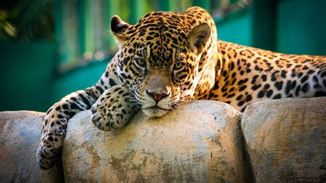 Jaguar Picture by Wallpaper Jaguar Cat Sad Animals 10303