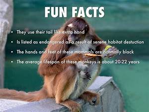 All About Spider Monkeys By Kimberly Hattabaugh