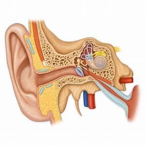 Inner Ear Anatomy  Medical Stock Art