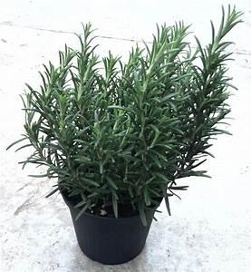 Entretien romarin en pot 28 images plantes aromatiques for Exceptional photos jardins et terrasses 9 romarin planter et tailler ooreka