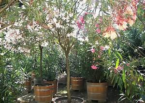 Oleander Im Winter : k belpflanzen oleander im kalthaus berwintert ~ Orissabook.com Haus und Dekorationen