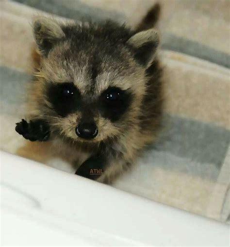 pet racoon baby raccoon as a pet hmm it s so fluffy i m gonna die pinterest baby raccoon