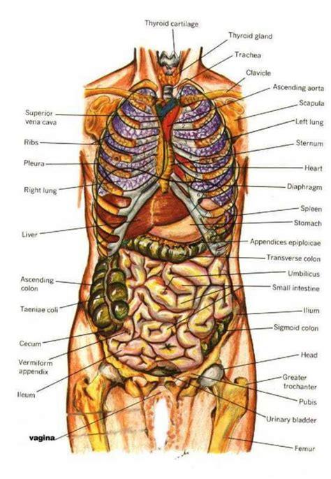 diagram human body inside human anatomy picture