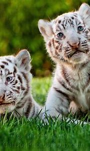 Bucket List: Hold a Baby White Tiger | Baby white tiger ...