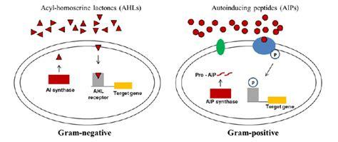 quorum sensing systems  bacteria gram negative bacteria