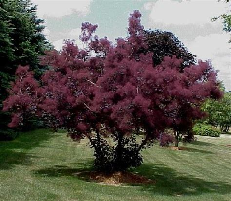 smoke tree smoke bush smoke tree broken china jewelry
