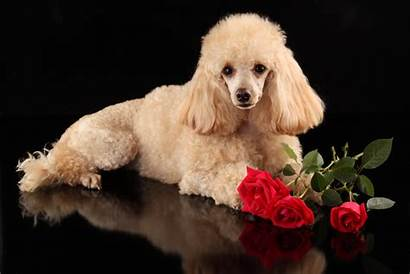 Poodle Dog Animal Backgrounds Rose Dogs Wallpapers