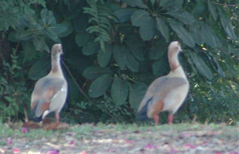 florida duck species