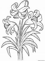 Flowers Lily Plants Coloring Flower Pages sketch template