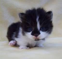 munchkin cat for nc munchkin kitten puppy gallery