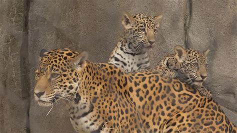 houston zoo debuts baby jaguars   time