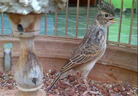 Burung Branjangan | Hobi Burung