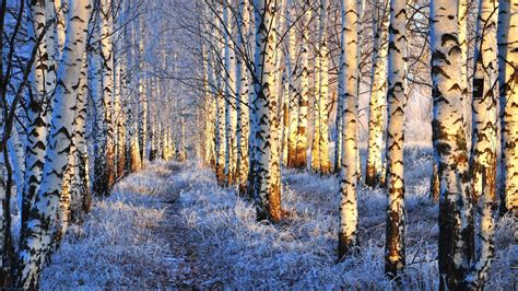 birch tree wallpapers backgrounds