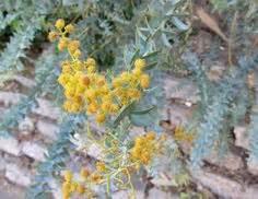 knife acacia trees acacia cultriformis  drought