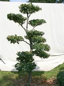 fagus sylvatica h 190 cm b 100 cm garten bonsai With whirlpool garten mit bonsai dünger
