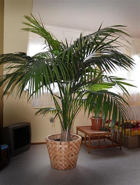 Palmen Für Innen palme f 252 r innen zimmerpalme in oberasbach pflanzen