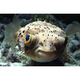 Puffer fish ( Tetraodontidae)