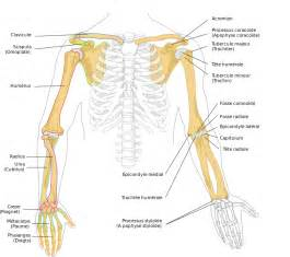 Human Arm Bones Diagram