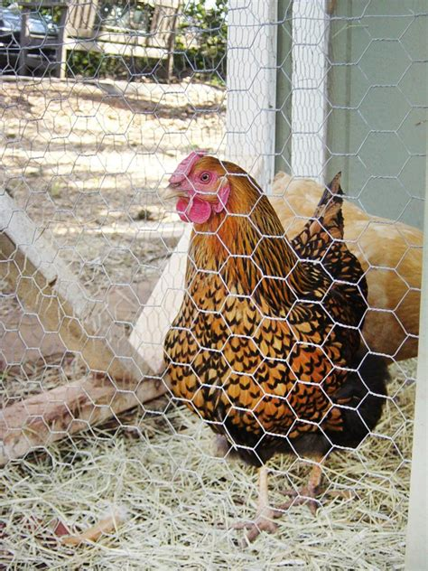 Backyard Eggs by Chicken Breeds Ideal For Backyard Pets And Eggs Hgtv
